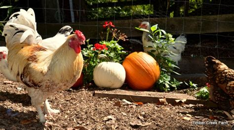 Backyard Chickens Winter Care What Does A Chicken Coop Need For Fall Backyard Poultry