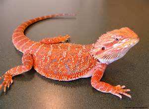 bearded dragon colors types wallpapers gallery