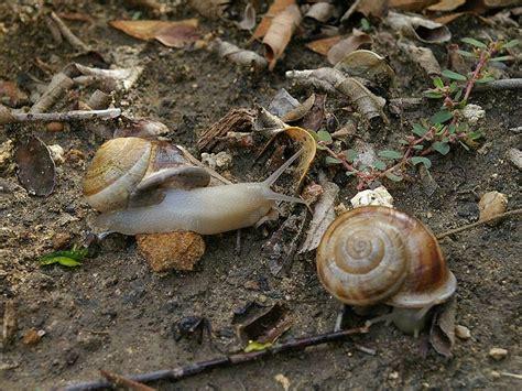 Brown Garden Snail by Brown Garden Snail Dfw Wildlife