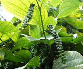 Vertical Garden Indonesia - how to grow black pepper plant growing peppercorn