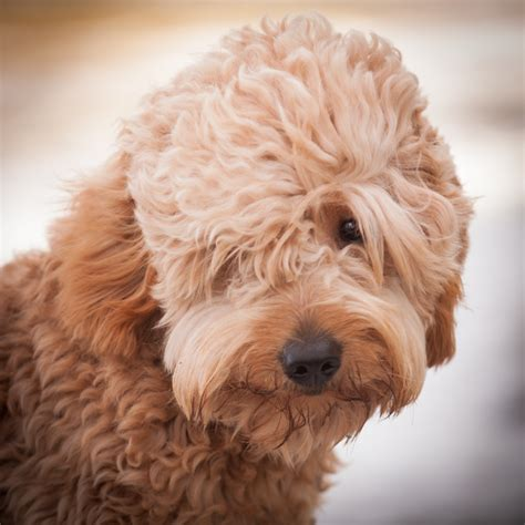 mini goldendoodle traits acorn acres miniature goldendoodles