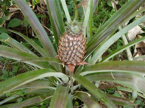 Culture D Ananas by Culture De L Ananas Au B 233 Nin La Fili 232 Re M 233 Rite Une