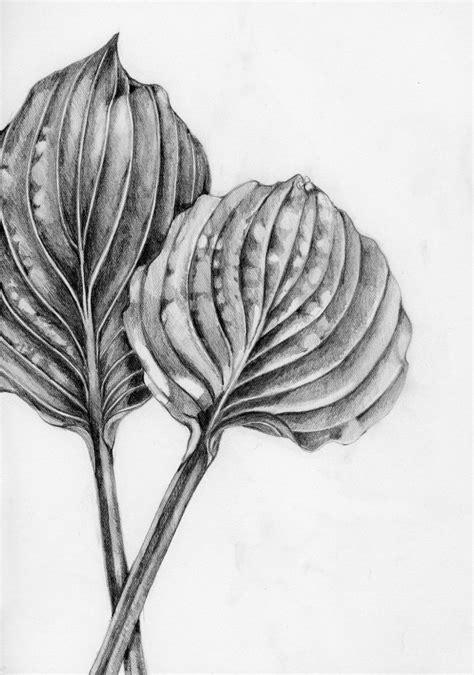 botanical drawing using graphite graphite drawing of two hosta leaves drawings botanical