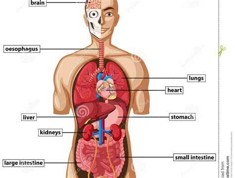 diagram of human organs can buy on related organs anatomy brain diagram of