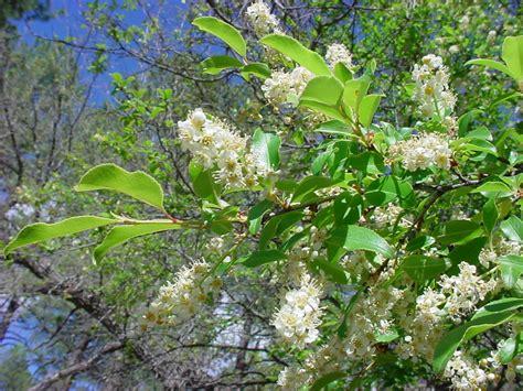 cherry tree range vascular plants of the gila wilderness prunus serotina var virens