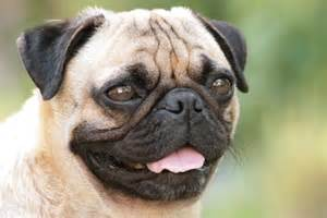 pugs archives about pug
