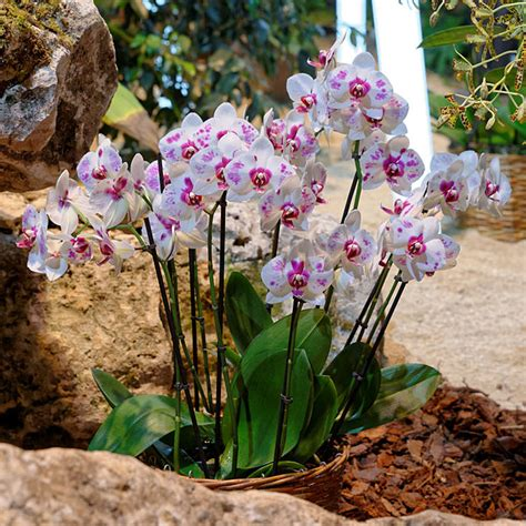 how to grow and care for orchid plants houseplant 411