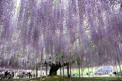 wisteria in japan massive japanese wisteria pics