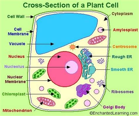 cross section of an plant cell plant cell emily s classroom blog