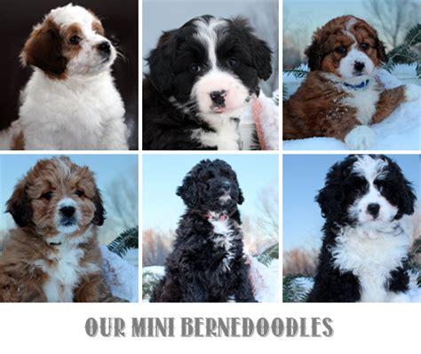 mini bernese mountain mini bernese mountain puppies