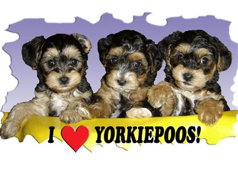 i my yorkie poo 79 best images about yorkie poo on