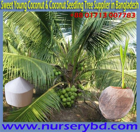 Supplier Aromatic nurserybd aromatic green coconut seedling plant