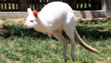 will climate change cause animals to shrink australian animals not wiped out by climate change
