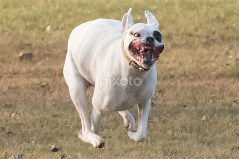 white boxer dogs black and white american boxer pictures to pin on pinsdaddy