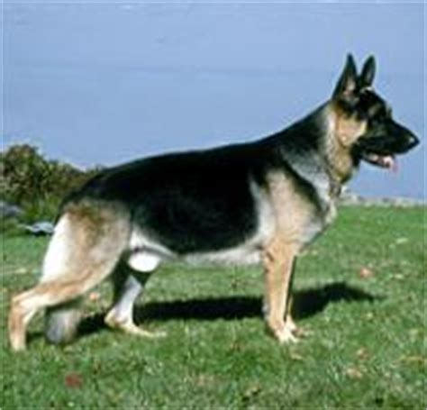 Home Foundation Types by Adopt A German Shepherd Dog Dog Breeds Petfinder