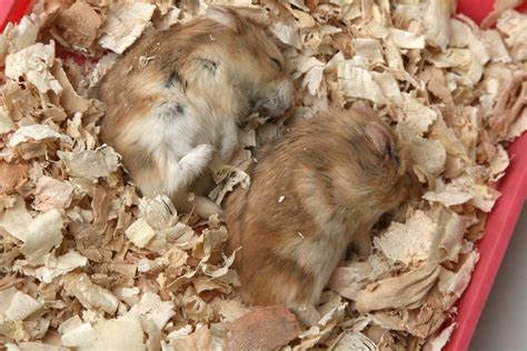 how to when your is dying how to keep your hamster comfortable when it is sick or dying