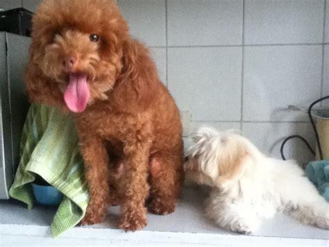 maltese poodle lifespan michiko poodle and dixie maltese dogs