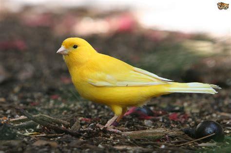 canaries bird yellow stock photos yellow canary bird www pixshark com images galleries