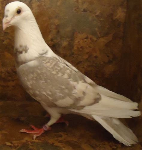 colored and regular homing pigeons for sale pigeon