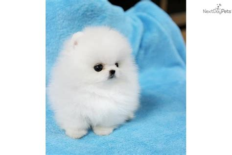 white pomeranian breeder white teacup pomeranian puppies teacup white pomeranian flickr photo
