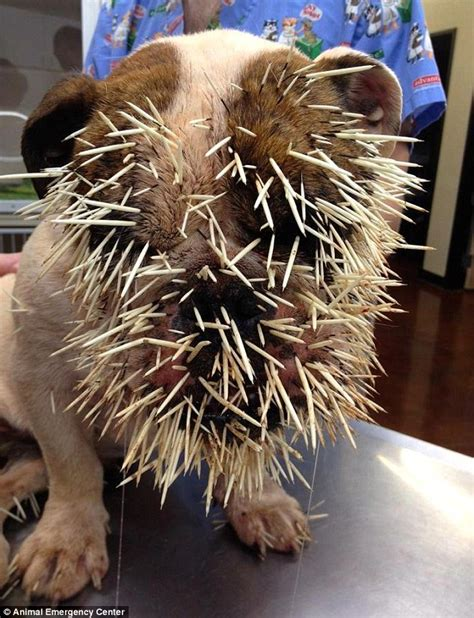 attacked by porcupine bulldog mae had 500 quills in after porcupine attack daily mail