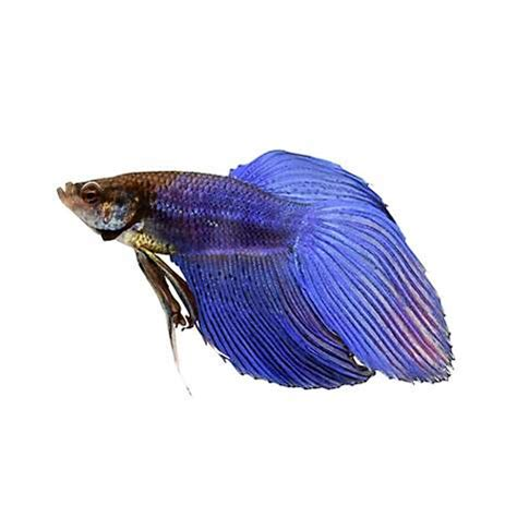 betta fish changing color blue veiltail betta petco