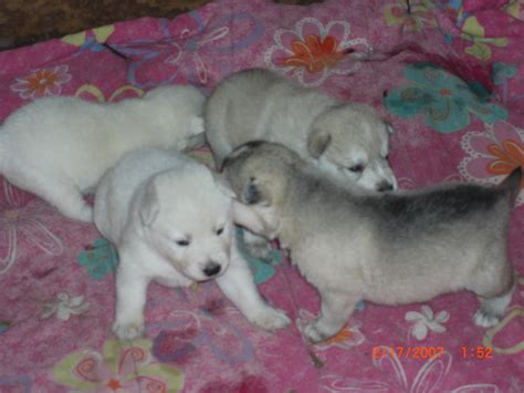 wolf puppies for sale wolf puppies for sale wolf hybrid artic timber