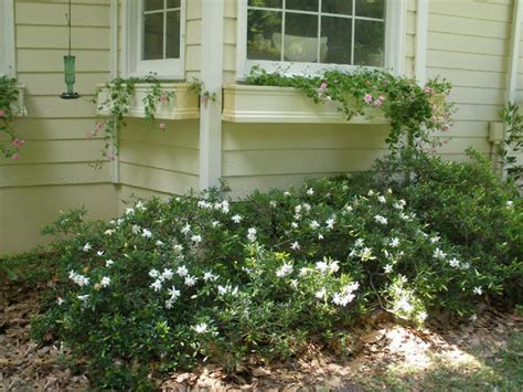 Gardenia Nursery Gardenia Quot O So Quot 7 Quot Pot Hello Hello Plants Garden