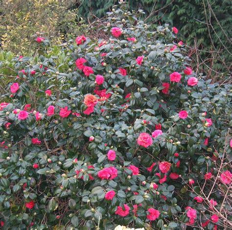 shrub camellia 03