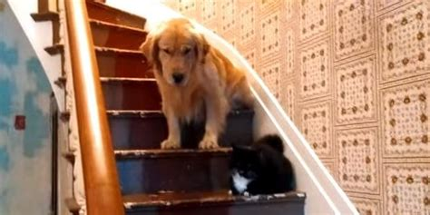 golden retriever stairs golden retriever refuses to pass cat on the stairs because evil