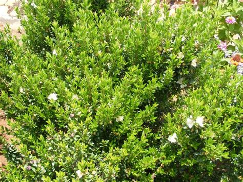 top  hedges common myrtle hutchisons naracoorte