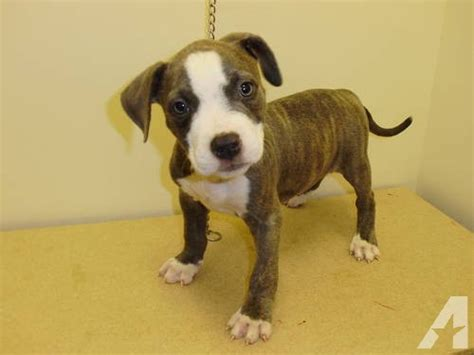 brindle pitbull puppies for sale adba blue brindle pitbulls for sale in wichita kansas classified americanlisted