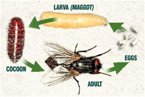 where do house flies lay eggs flies