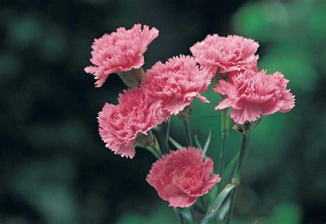 fiori di garofano garofano come coltivarlo in terra e in vaso fai da te