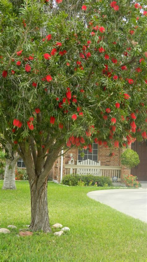 Bottle Brush Trees - high heels and daffodils bottle brush tree