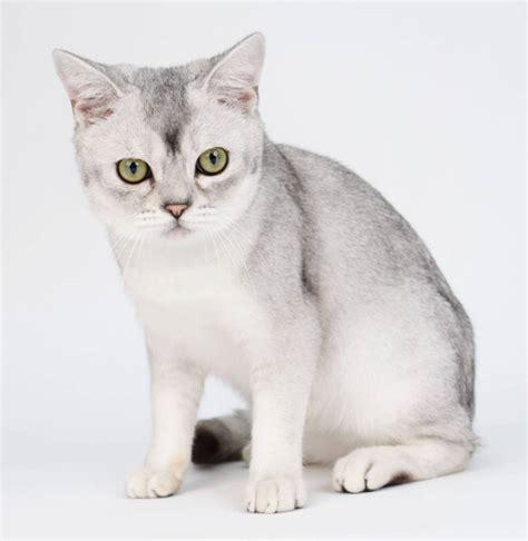 shorthair cat 50 lovely american shorthair cats golfian