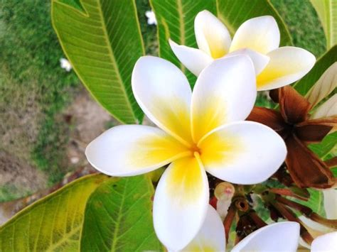 frangipane fiore fiore di frangipane