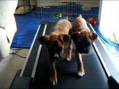 pug on treadmill 1000 images about on watches and