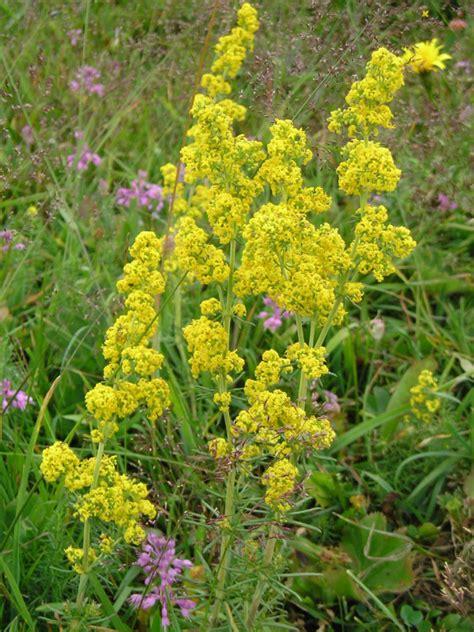 bed straw lady s bedstraw galium verum wildflowers of edinburgh