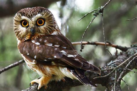 northern saw whet owl audubon field guide
