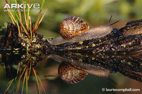 different types of snails in the garden garden snail photos and facts helix aspersa arkive