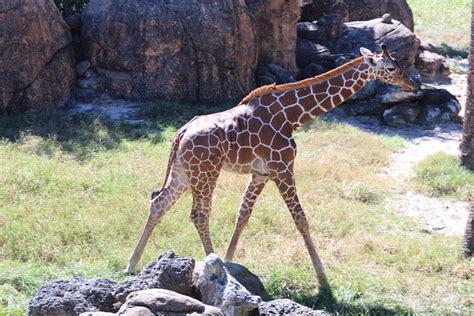 imagenes de jirafas apareandose foto gratis jirafas animales beb 233 s animales imagen