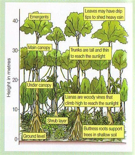 rainforest diagram rainforest layers research eleanor palmer primary school