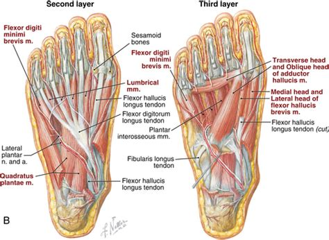 Planter Of Foot by Foot And Ankle Musculoskeletal Key
