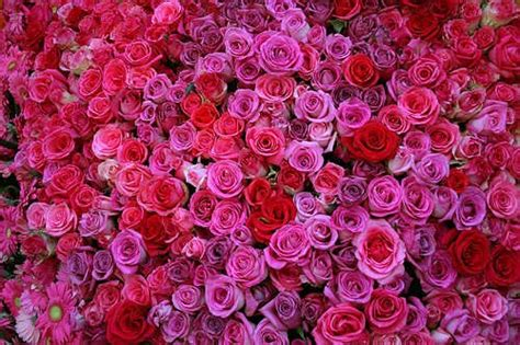 lot  roses desicommentscom