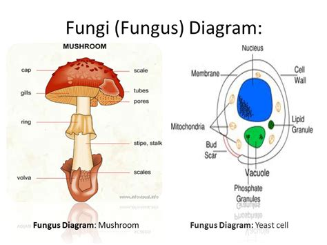 fungi diagram fungal cell diagram labeled