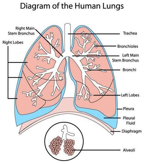 lung cancer diagrams image gallery human lungs diagram
