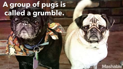 pug facts 16 totally true facts about pugs