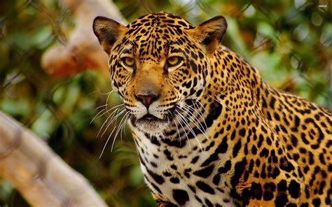 jaguar wallpaper animal johnywheels