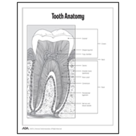 Cross Sectional Anatomy Pdf by Basic Dental Health Fact Worksheets For Children